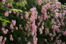 In diesem Jahr unglaublich blütenreich: Die Rose Raubritter. Blüht nur einmal, aber dafür verschwenderisch.