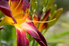 """Hemerocallis """"Ruby Spider"""" ist eine eher kompakte Spider, aber mit riesigen Blüten."""