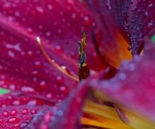 """Hemerocallis """"Ruby Wine"""" hat ein sattes Dunkelrot, das in der Abenddämmerung einen violetten Ton bekommt."""