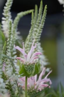 """Veronica longifolia """"Schneeriesin"""" blüht dankbar lange, hier zusammen mit Monarda bradburiana """"Fishes"""""""