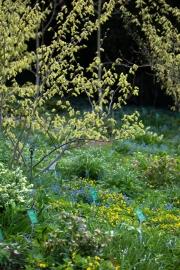 Waldszene mit blühendem Corylus