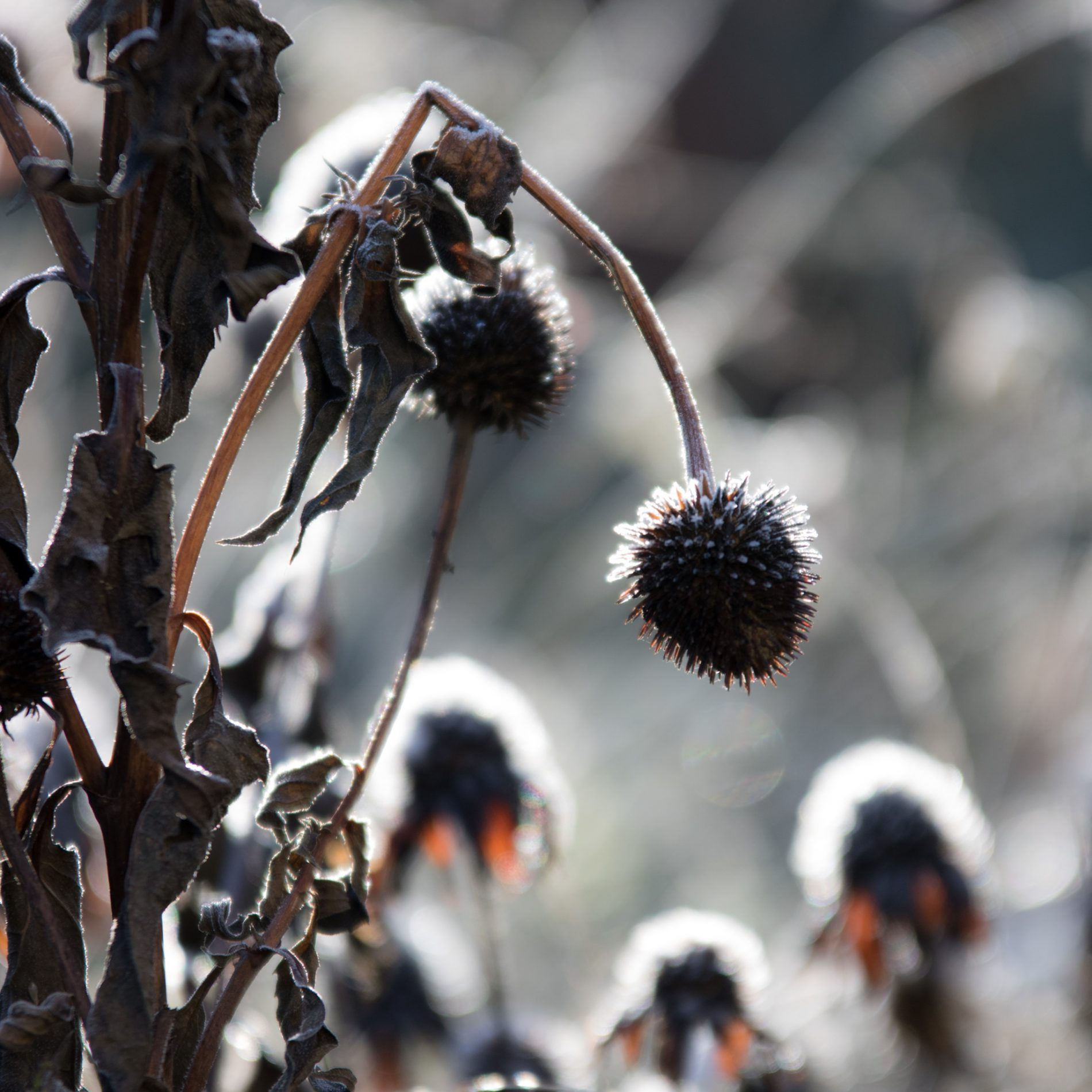 Echniacea, Winter