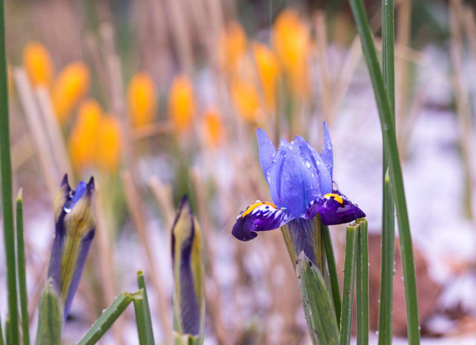 """Iris reticulata """"Gordon"""" und Corcus ancyrensis"""