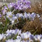 """Crocus chrysanthus """"Blue Pearl"""", Crocus etruscus """"Zwanenburg"""" und Galanthus nivalis."""