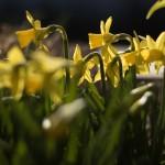 """Narcissus cyclamineus """"Tête à Tête"""""""