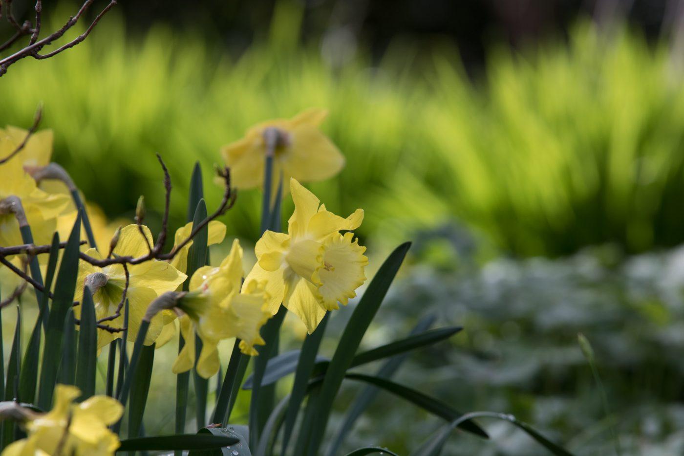 Narzissen mit dem hellen Austrieb der Hemerocallis im Karl-Foerster-Garten in Potdsam