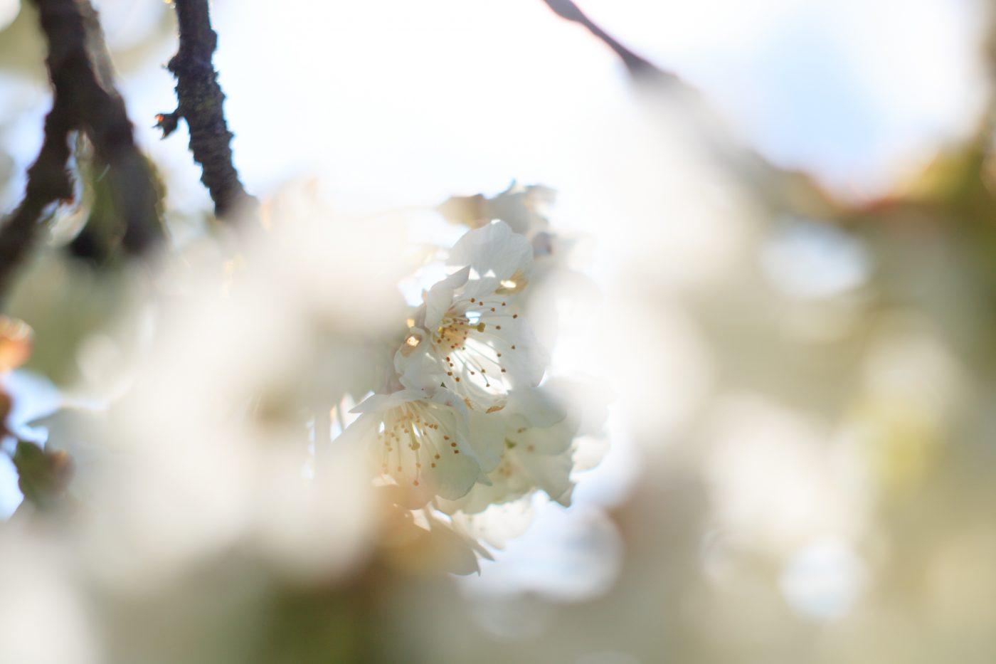 Kirschblüten im morgendlichen Gegenlicht.