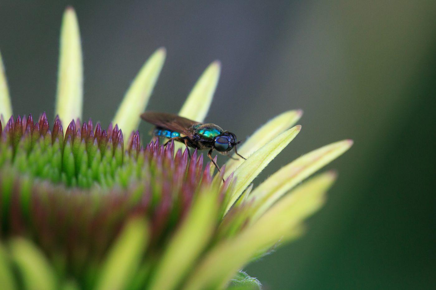 Ton in Ton: Schillernde Fliege auf Echinacea