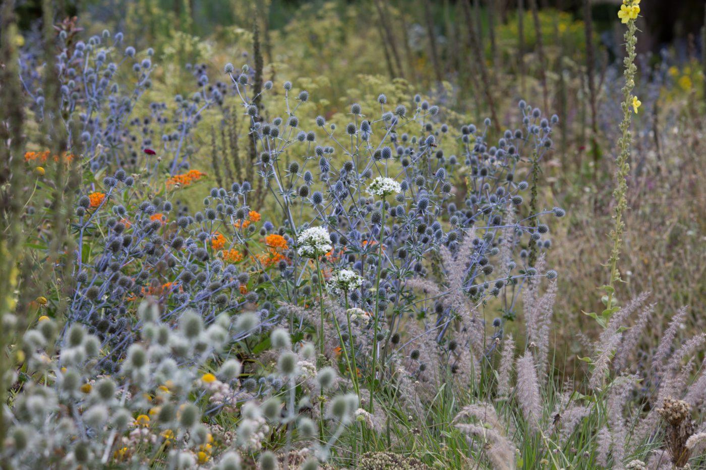 Trockenbeet in Weihenstephan mit Eryngium, Allium, Pennisetum orientale und Asclepias als orange Farbklecks