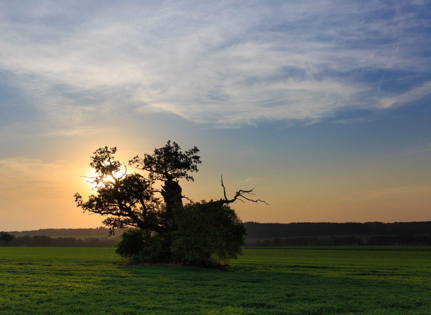Beberbecker Feld: Dicke Margarethe Eiche Baum