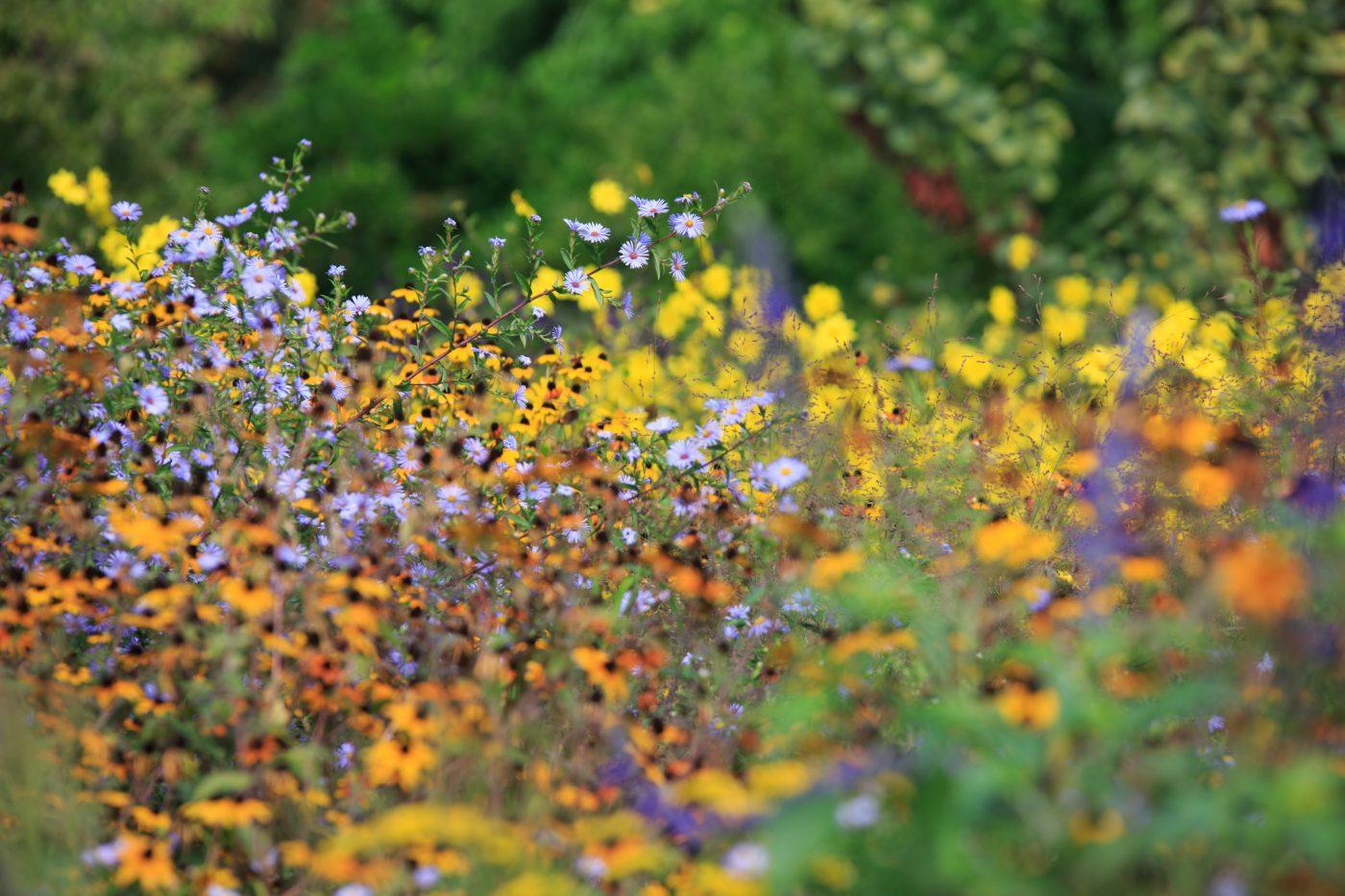 Hermannshof Weinheim Bunter Herbst Astern Helianthus Sonnenblume