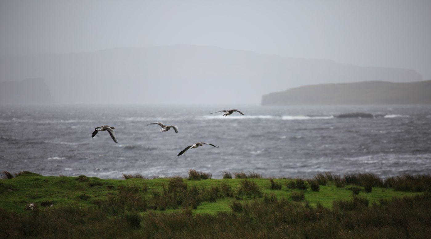 Gänse, Isle of Skye, Schottland