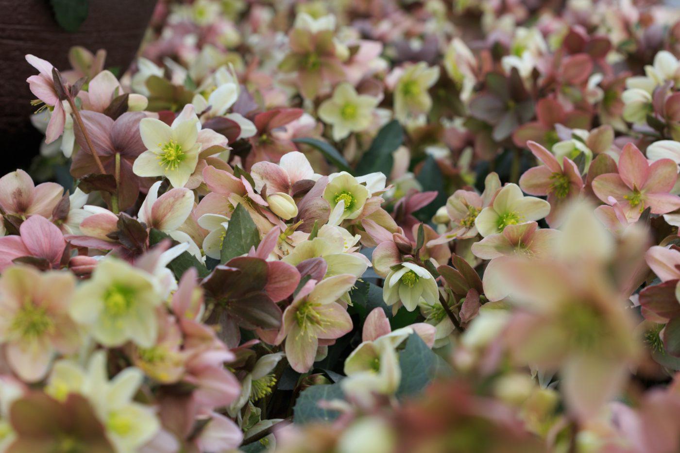 Helleborus hybride, Christrose