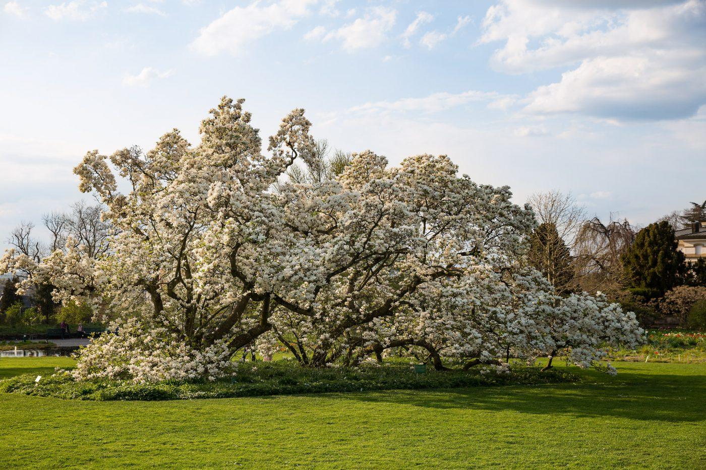 "Hermannshof Weinheim - Magnolia x soulangeana ""Lennei Alba"""