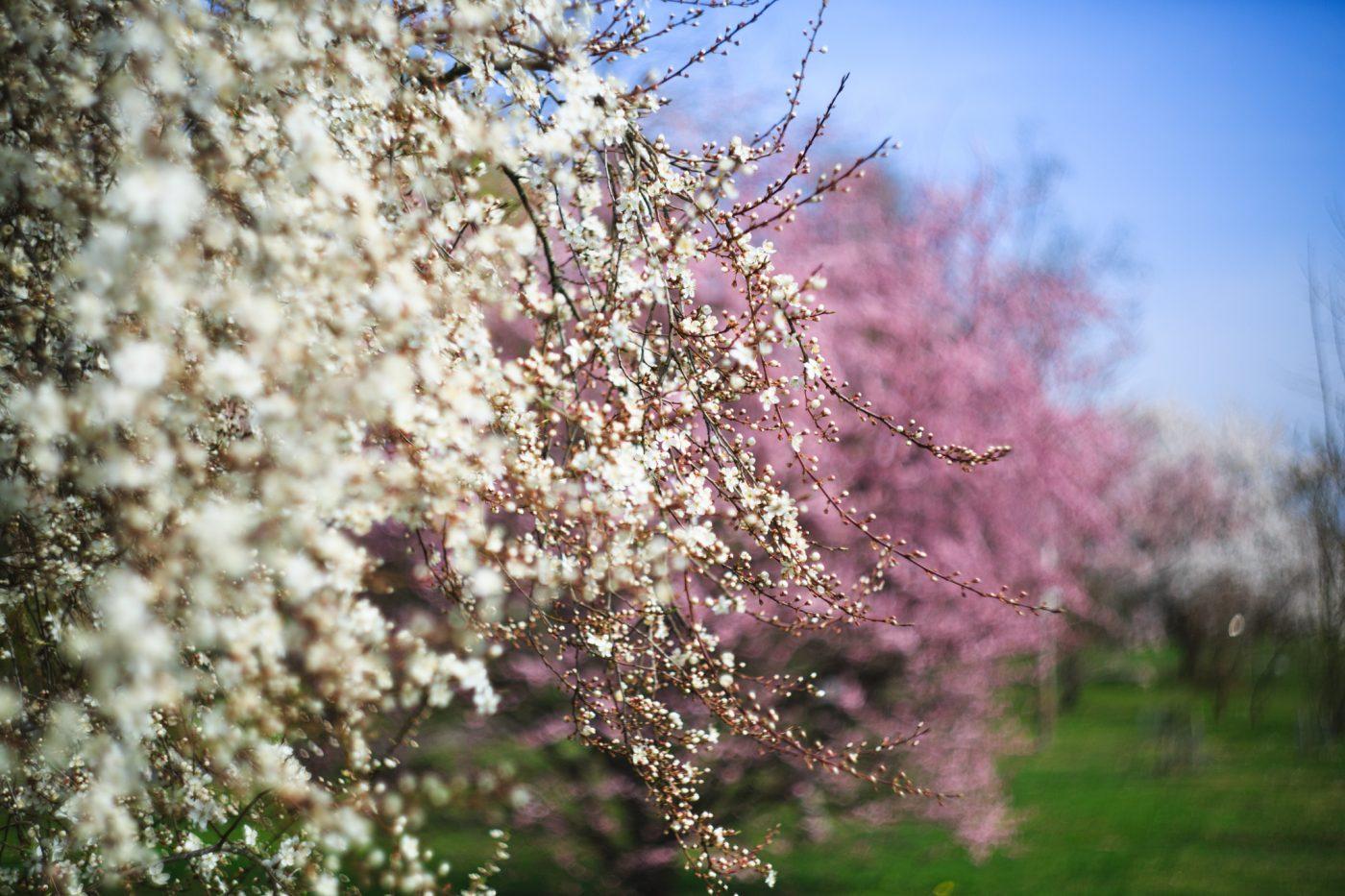 Prunus blireana weiß, Hohenheim
