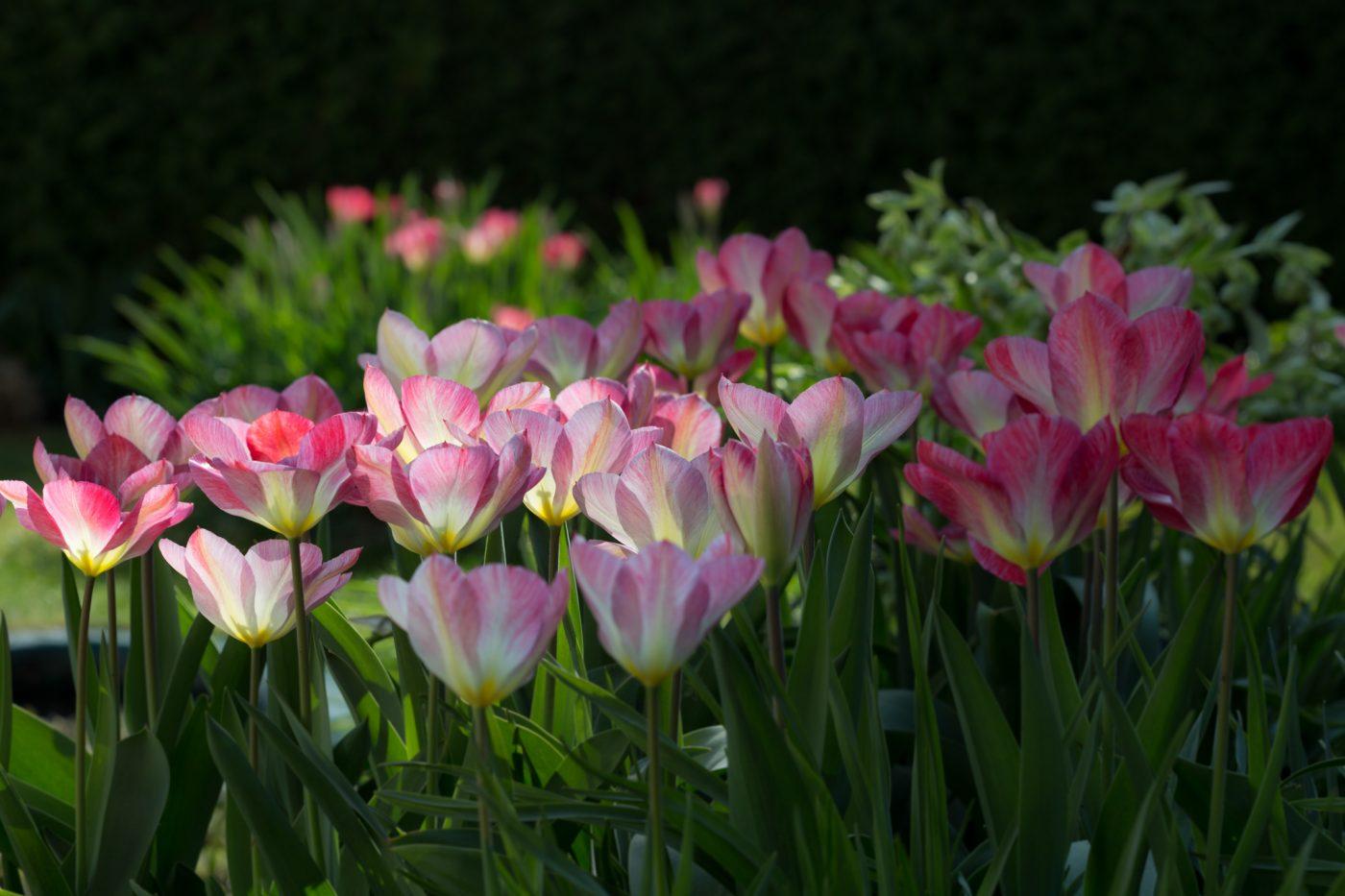 """Tulipa fosteriana """"Flaming Purissima"""""""