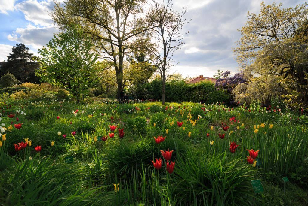 Hermannshof Weinheim - Lilienblütige Tulpen im Gegenlicht