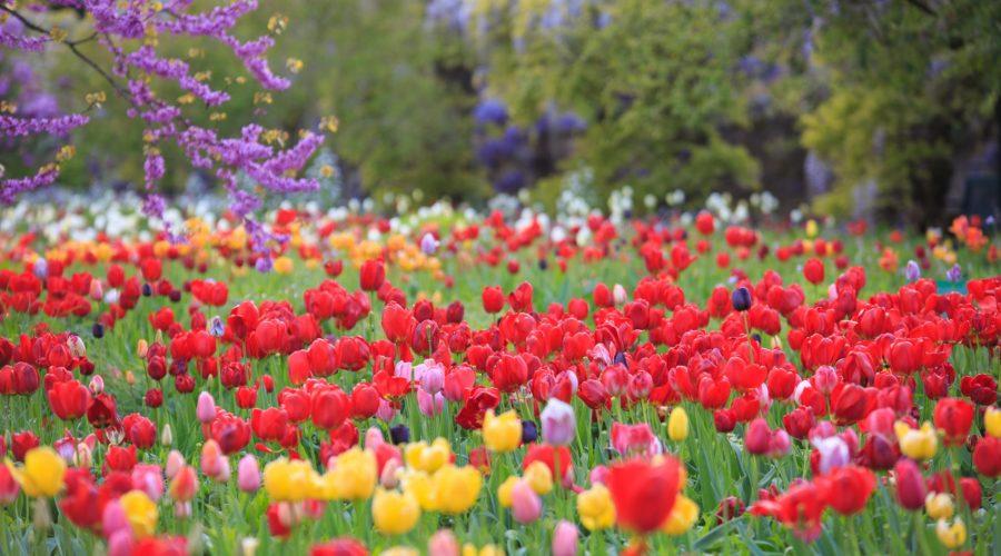 Photo: April at Hermannshof: Flood of tulips