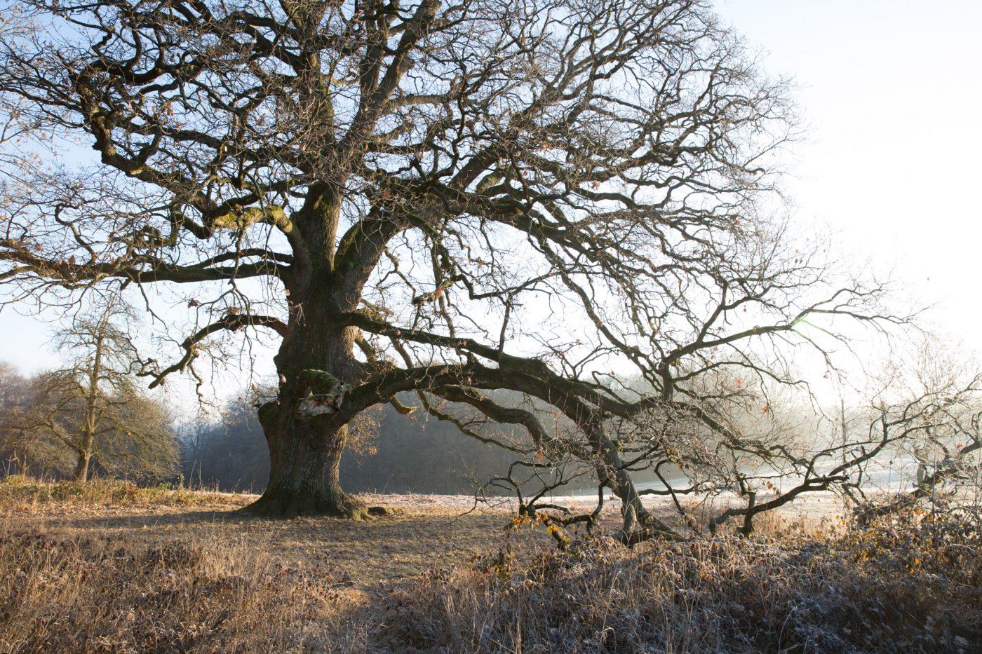 Sulzeiche im Winter, Eiche, Baum, Waldorfhäslach