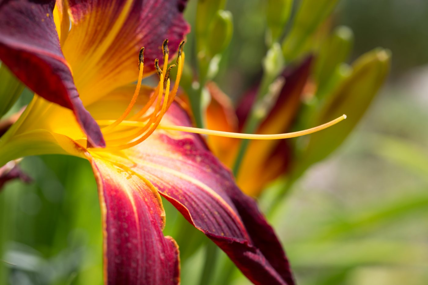 "Hemerocallis ""Ruby Spider"""