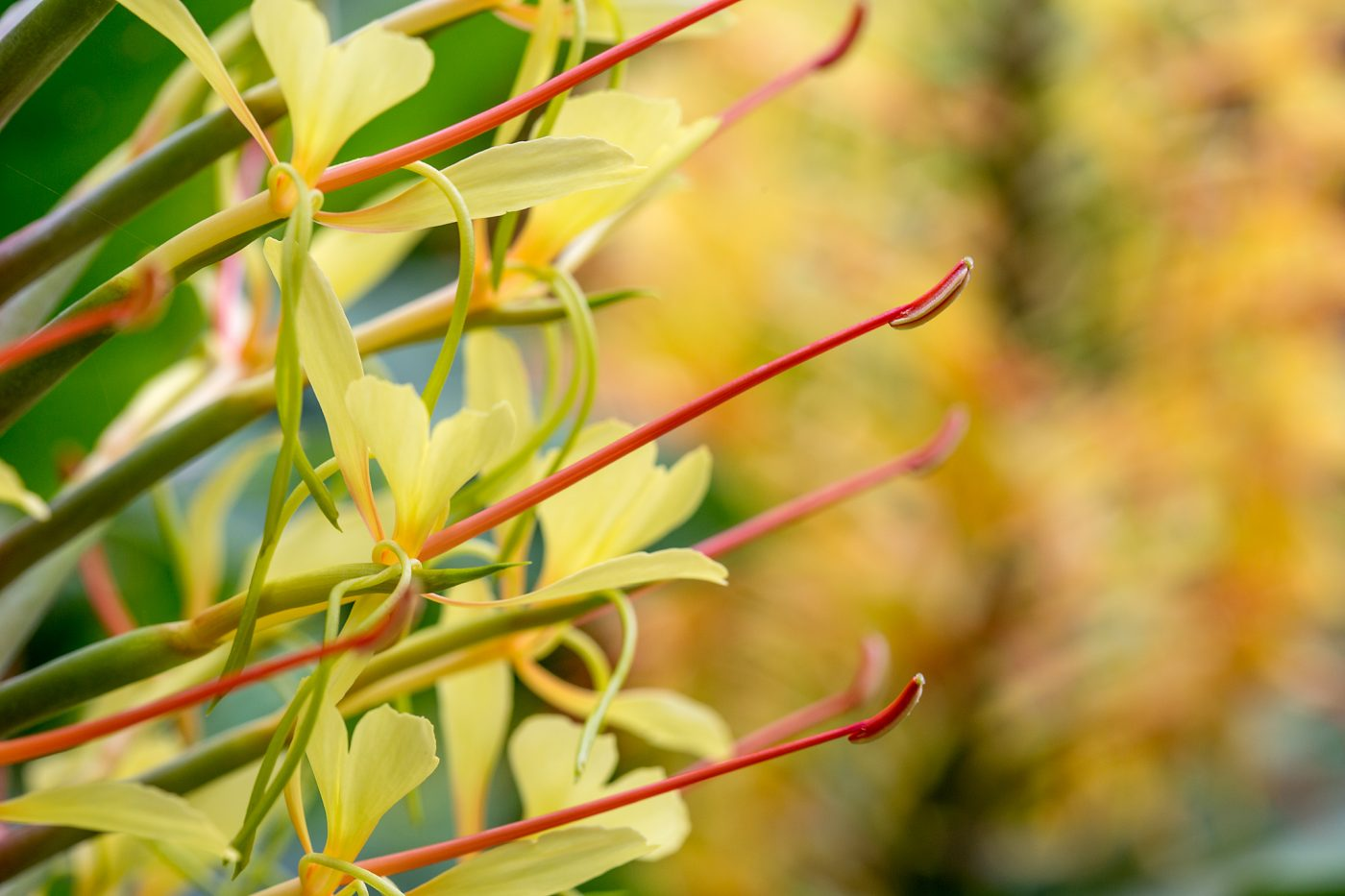 Botanischer Garten San Francisco, Hedychium gardnerianum (Kahili Ginger)