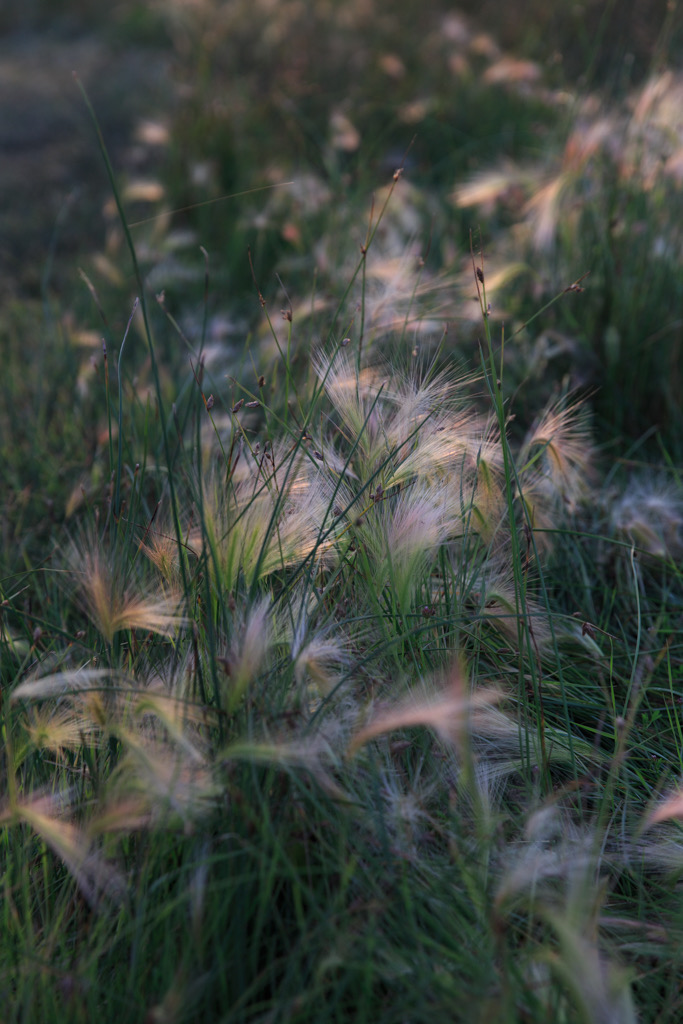 Photo: Grasses in the evening light