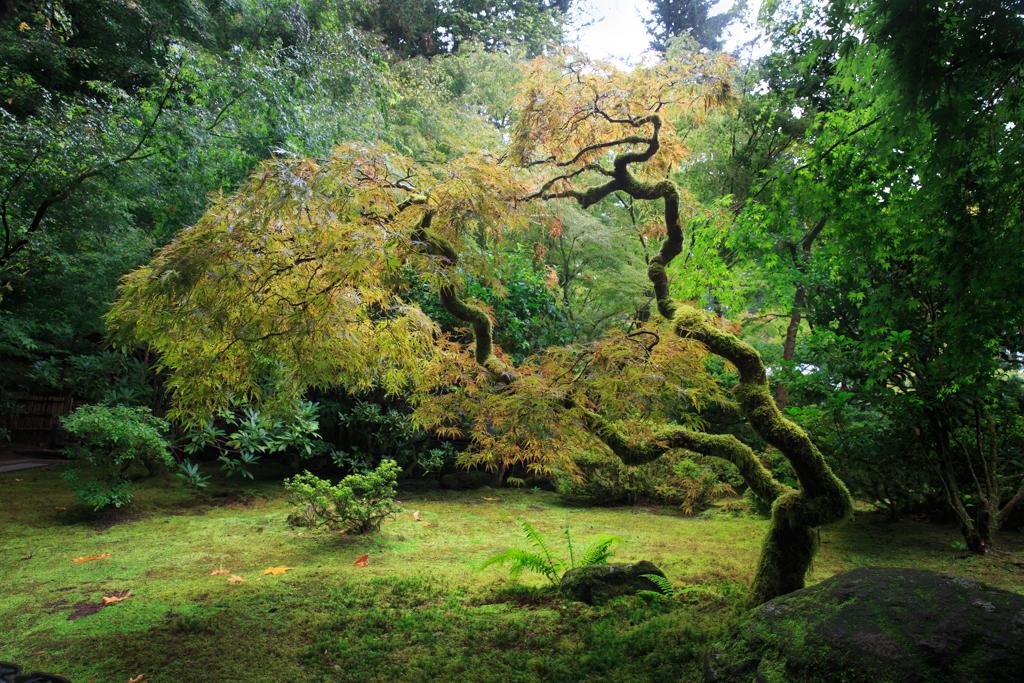 Japanischer Garten Oregon Ahorn Regen Portland