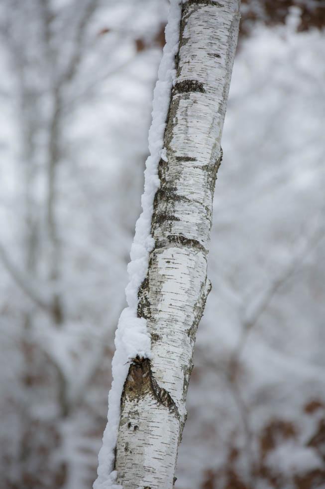Birkenstamm Birke Betula im Schnee