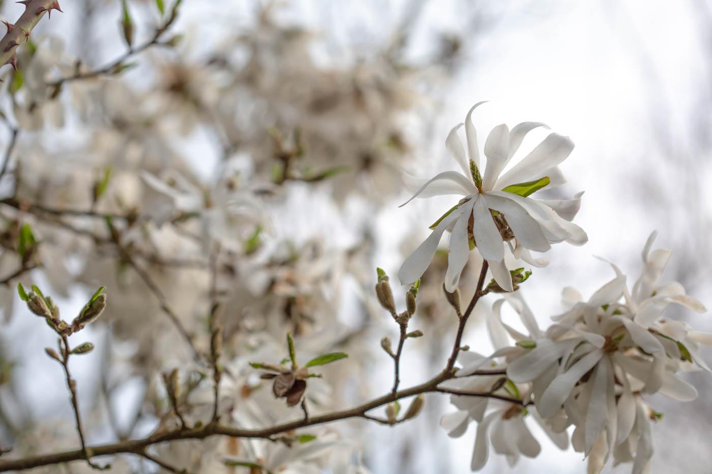 Magnolie, Sternmagnolie, Magnolia stellata, Garten Christine Bahlo