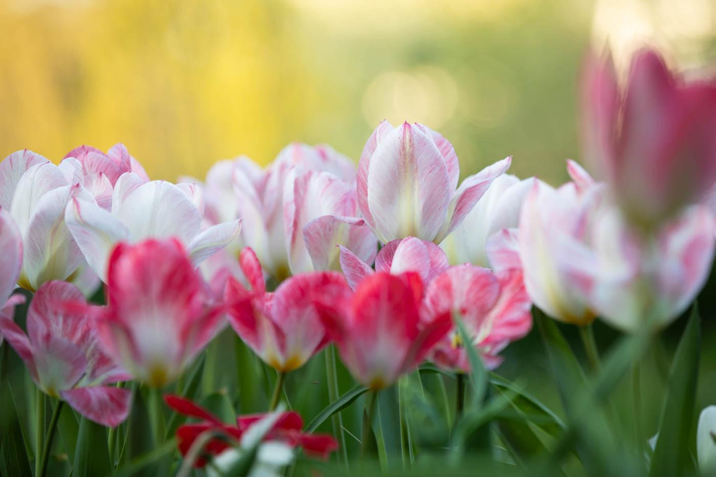 "Tulipa fosteriana ""Flaming Purissima"" Tulpe"