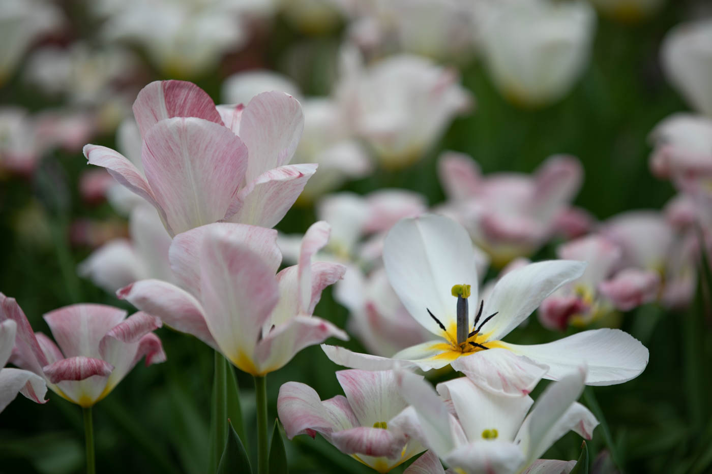 "Tulipa fosteriana ""Flaming Purissima"", Tulpe"