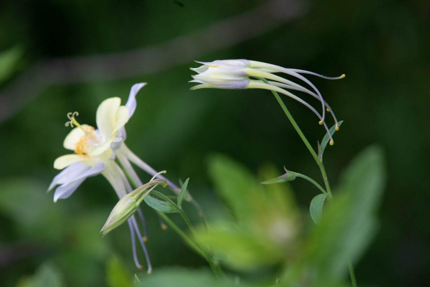 Eine der langspornigen Aquilegia caerulu