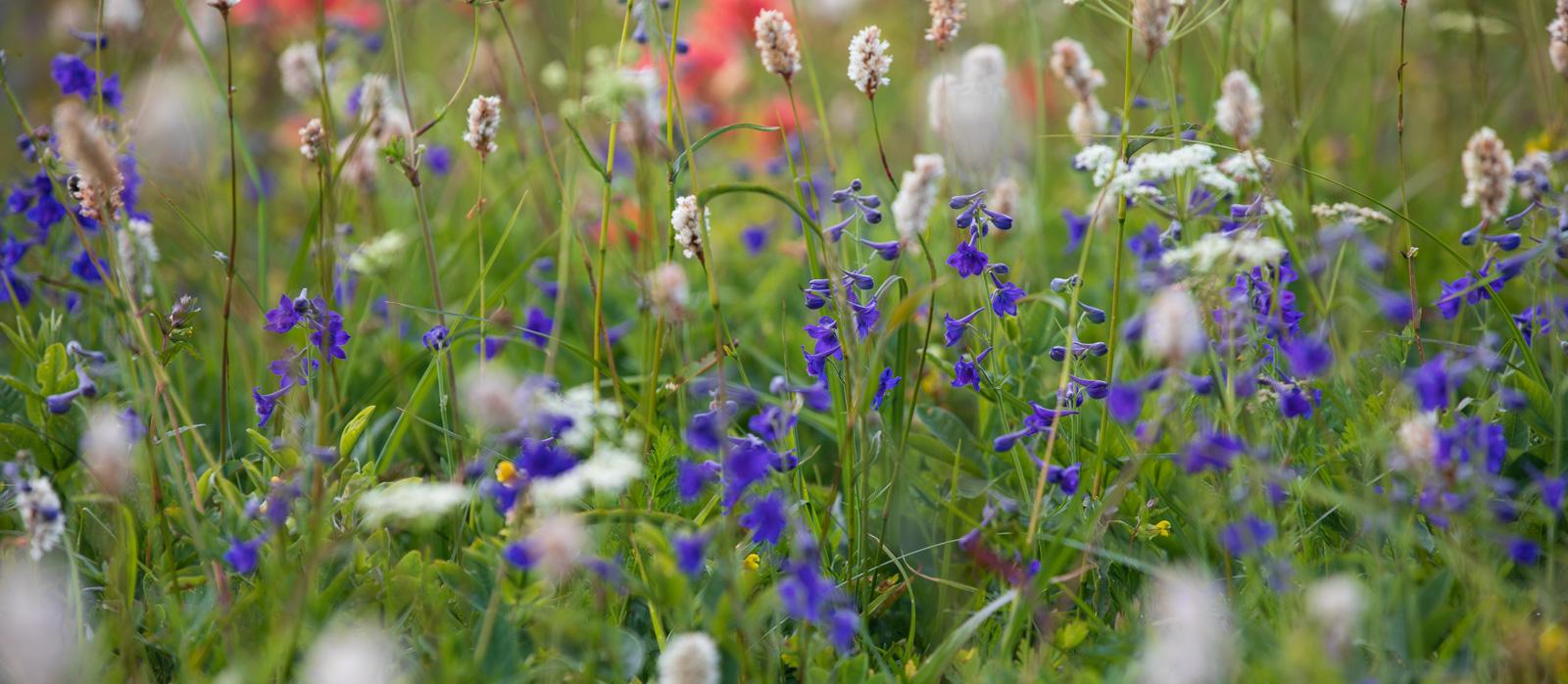 Silver Star Mountain, Washington, Delphinium nuttallii, Bistorta bistortroides