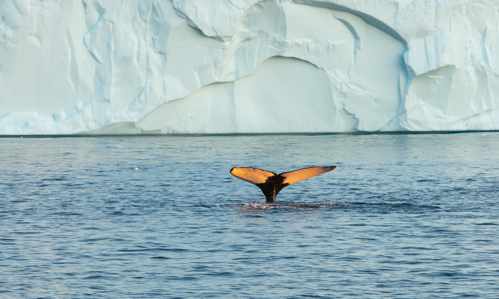 Photo: Buckelwal vor den Eisbergen