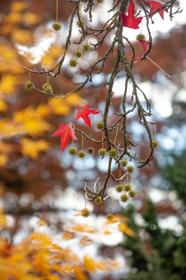 Photo: Das Herbstlaub des Liquidambar stryaciflua ist leuchtend rot. Interessant sind seine toll geformten Äste und der putzige Fruchtbehang.