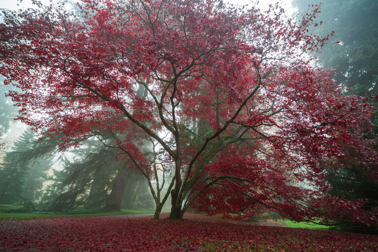 Photo: Acer palmatum im Nebel