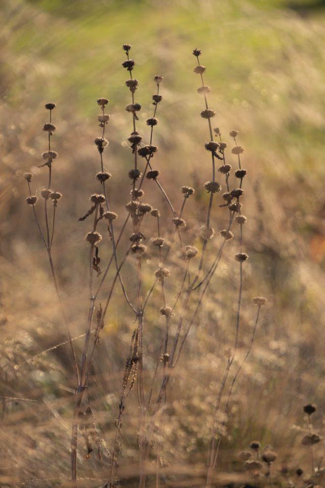 Phlomis tuberosa im Garten