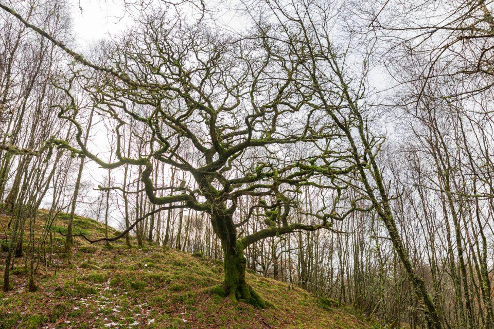 Im Glen Orchy stehen wunderbare bemooste Bäume, Schottland, Winter