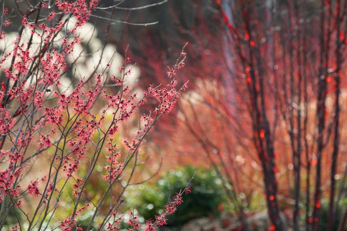 Winterfarben, Rot-Spiele: Hamamelis, Prunus, Cornus, Luisenpark Mannheim