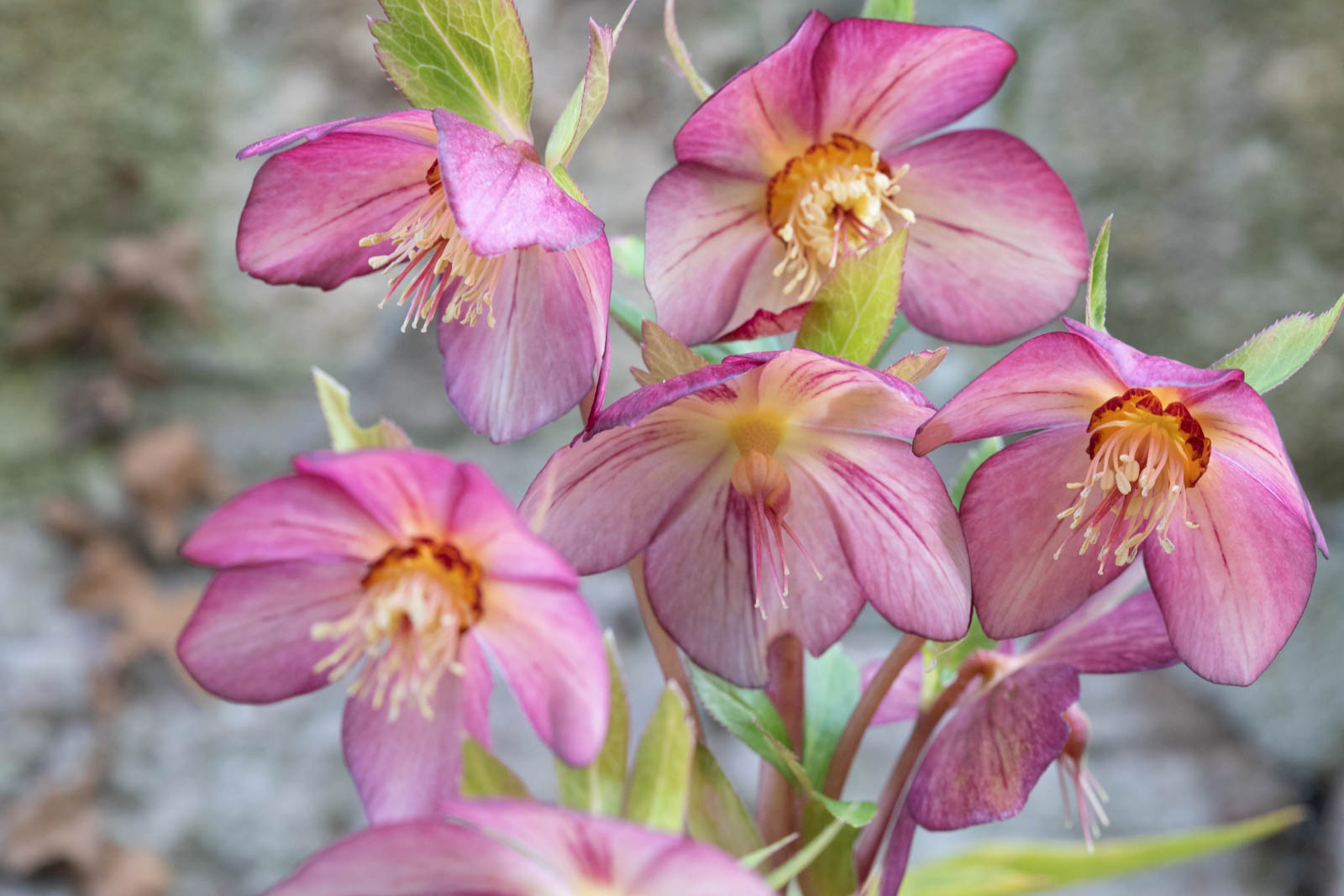 Photo: Helleborus x hybridus