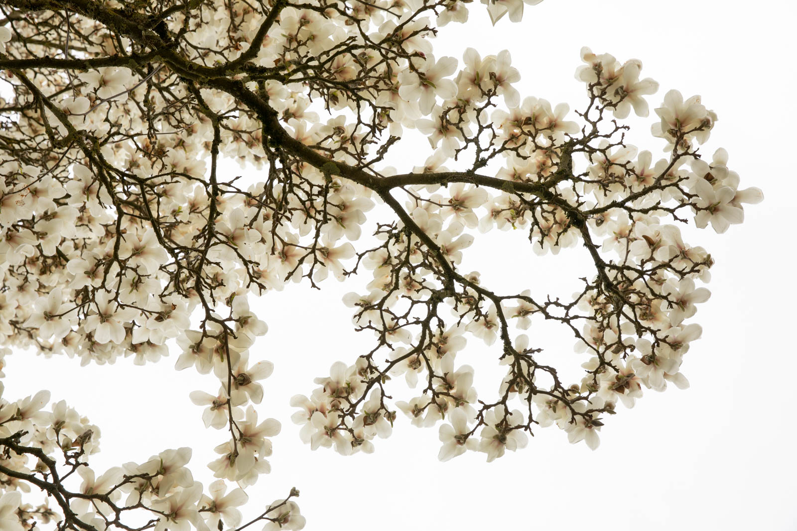 Photo: Magnolia denudata