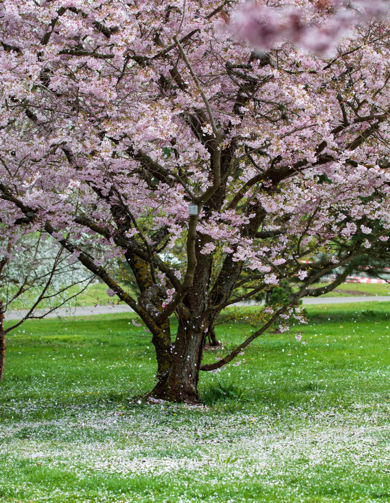 """Photo: Blütenblätter regnen von Prunus """"Spire"""""""
