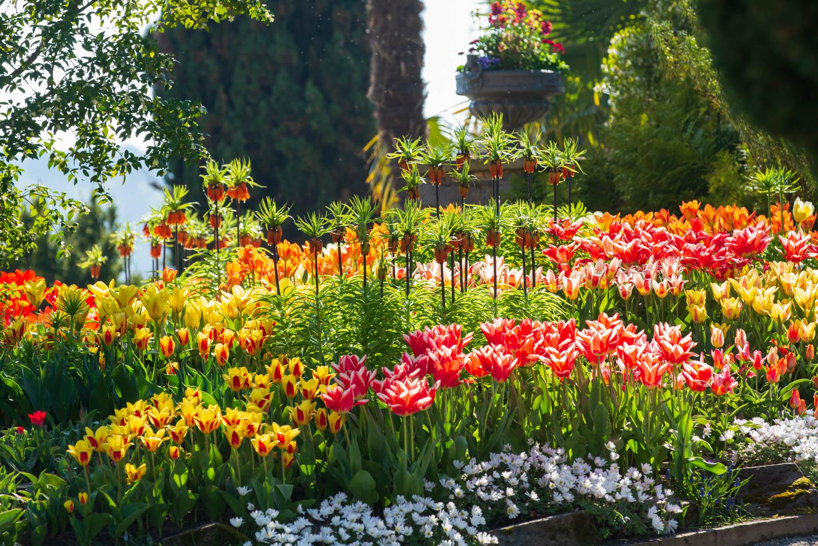 Kaiserkrone, Tulpen und Fritillaria imperialis im Gegenlicht, Mainau, Insel Mainau, Bodensee