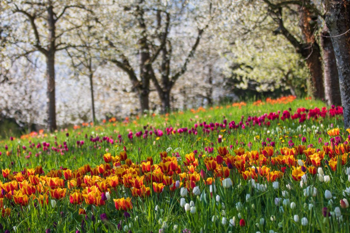 Tulpen und Kirschblüte, Mainau, Insel Mainau, Bodensee