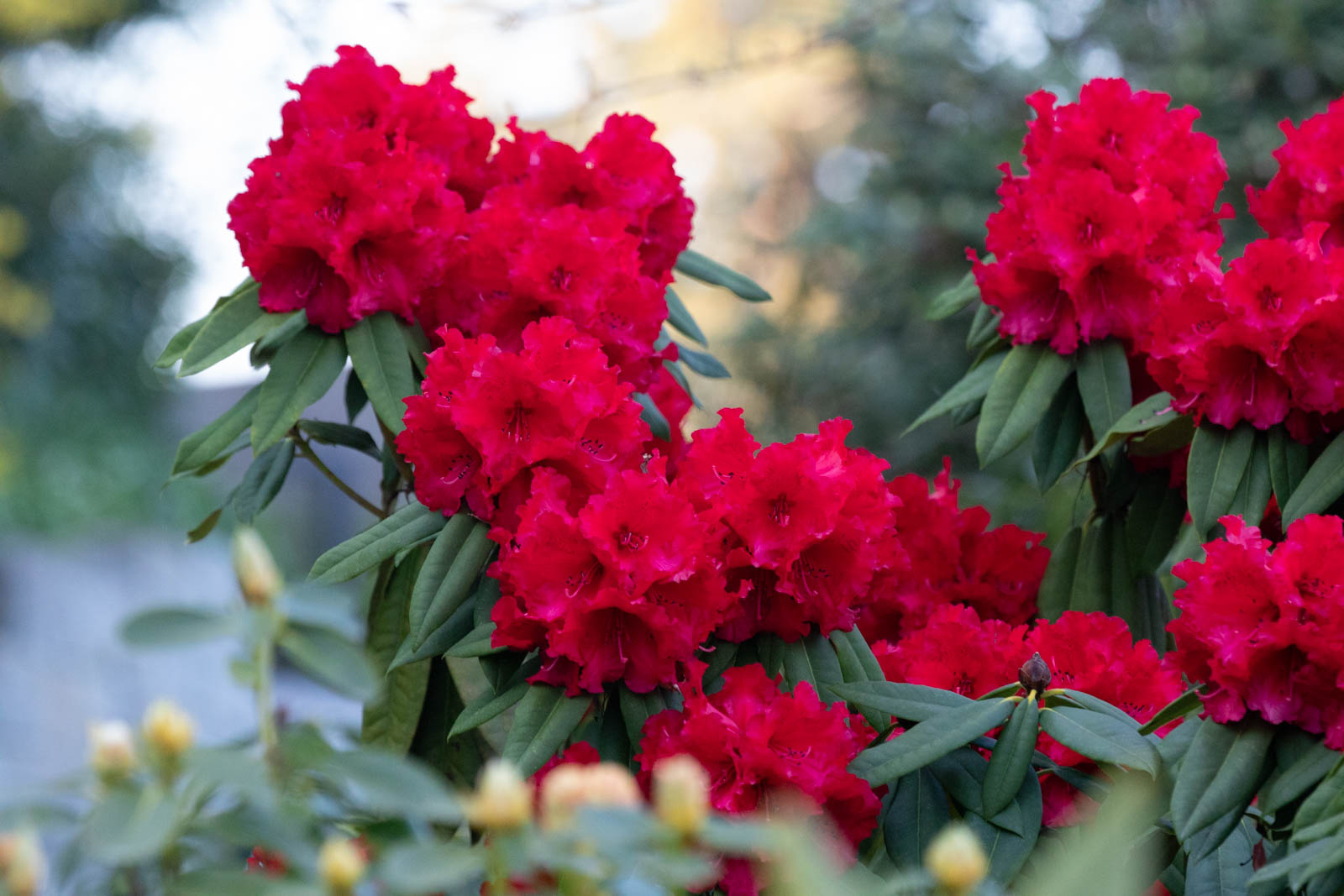 Photo: Der erste Rhododendron blüht