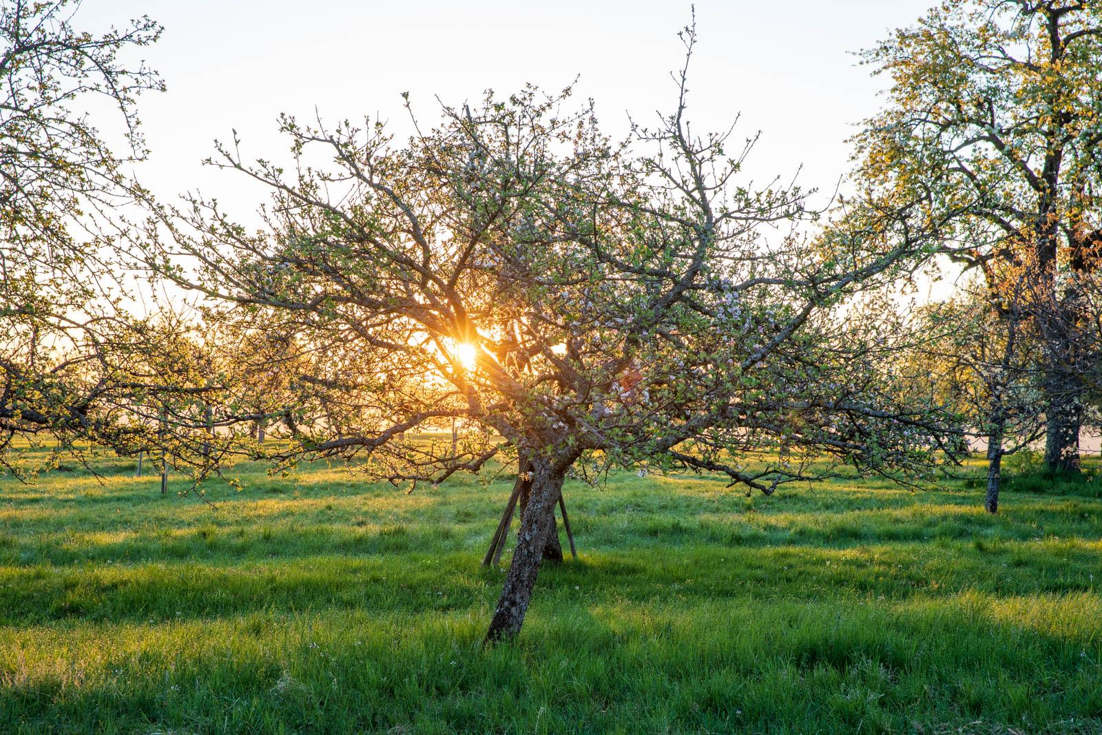 Photo: Sonnenaufgang in der Streuobstwiese, direkt ins Licht fotografiert