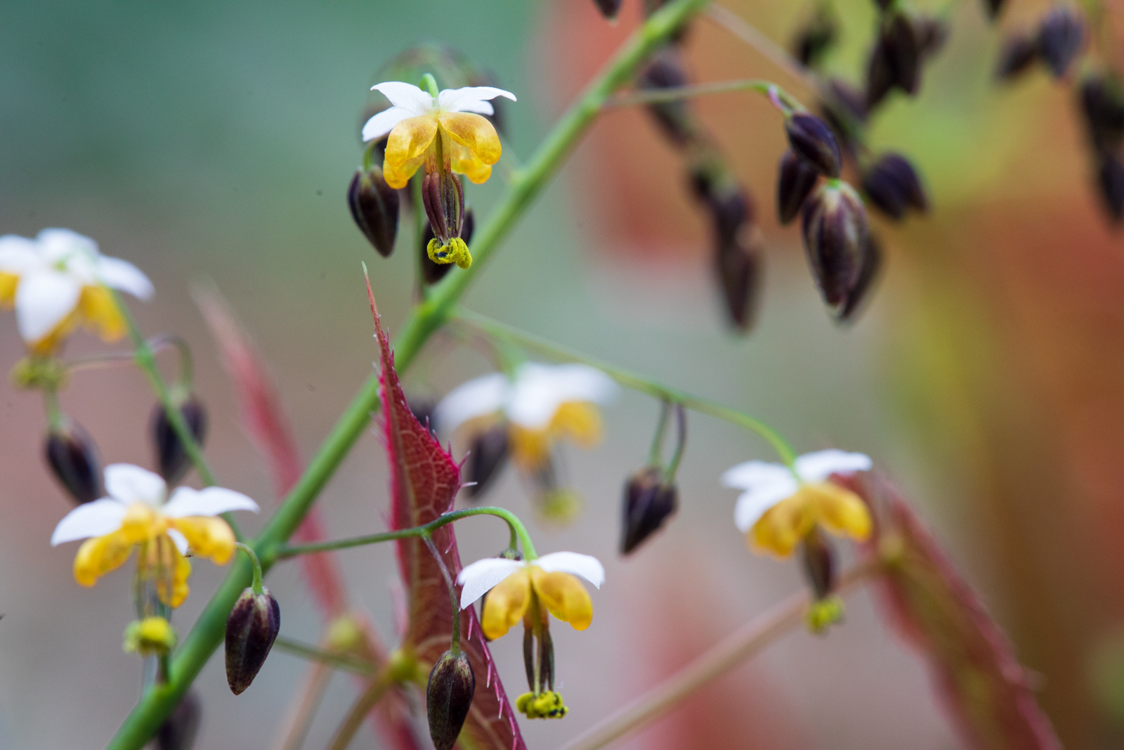 Photo: Epimedium sagittatum Warlord