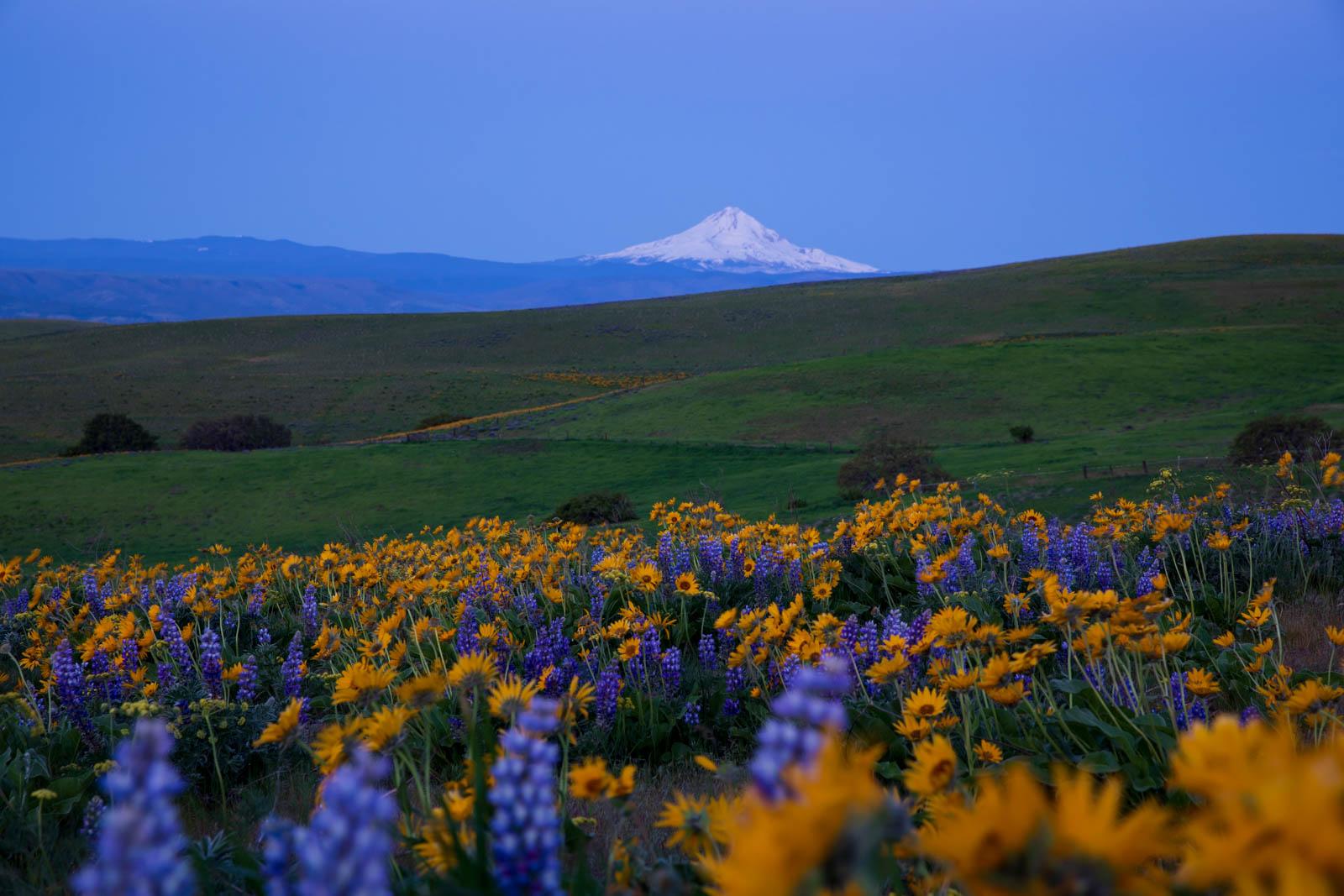 Blaue Stunde in den Columbia Hills mit Blick auf den Mt. Hood