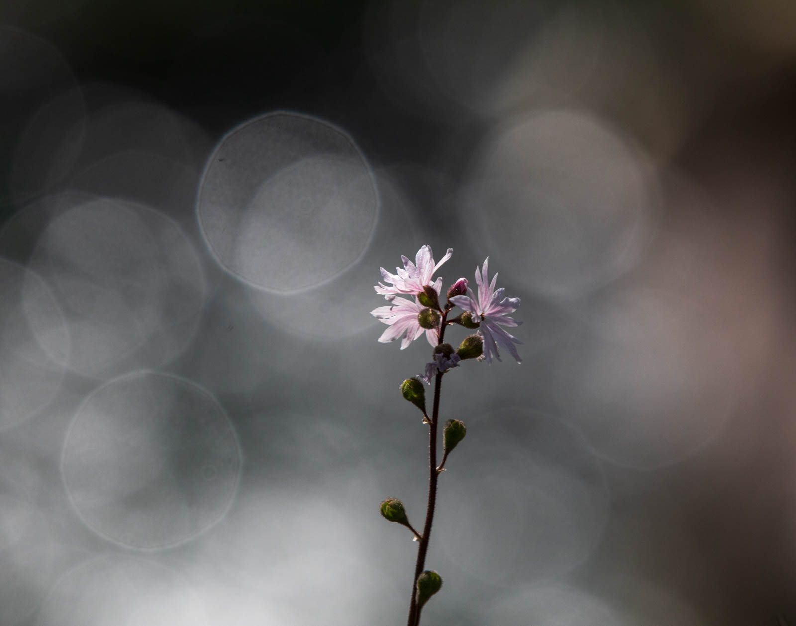 Photo: Lithophragma parviflorum