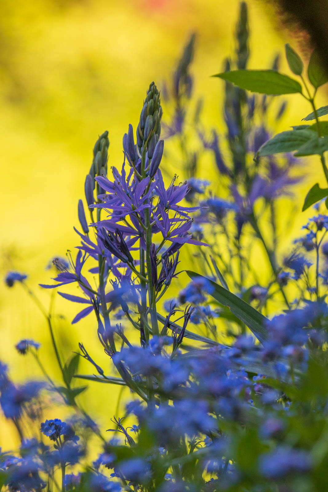 Photo: Camassia und Mysotis in trauter Zweisamkeit